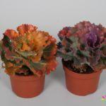 Brassica Colorz 10,5cm Mix 1