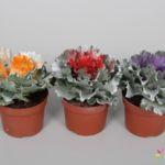 Brassica Colorz 10,5cm Mix 2