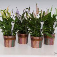 Spathiphyllum Make-Upz®