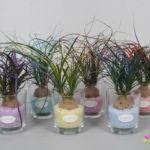 Beaucarnea Colorz 6 kleuren mix in glas