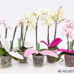 vanGeest-Phalaenopsis-pot9-VelvetTouchz-RozeWit-Mix-Witteachtergrond