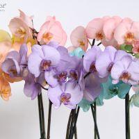 Phalaenopsis 12 cm Make-upz® Mix Bloemen Closeup